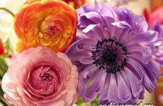 Цветок лютик садовый. Описание, особенности, виды и уход за садовым лютиком