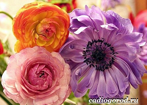 Цветок-лютик-садовый-Описание-особенности-виды-и-уход-за-садовым-лютиком-10