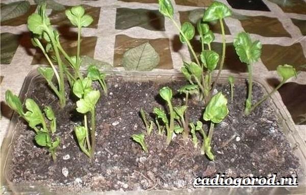 Цветок-лютик-садовый-Описание-особенности-виды-и-уход-за-садовым-лютиком-12