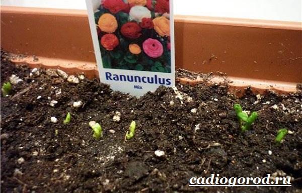 Цветок-лютик-садовый-Описание-особенности-виды-и-уход-за-садовым-лютиком-14