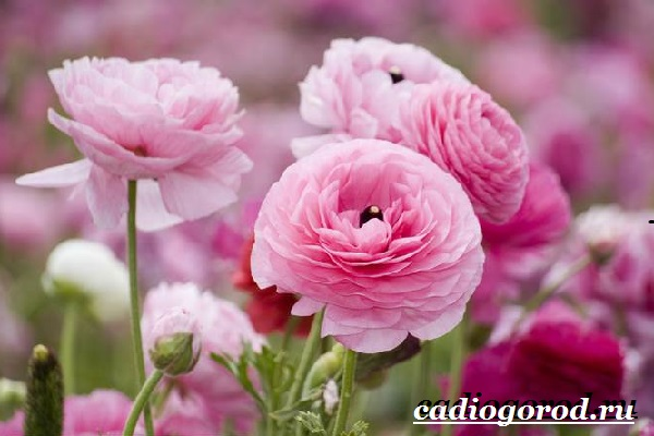 Цветок-лютик-садовый-Описание-особенности-виды-и-уход-за-садовым-лютиком-2