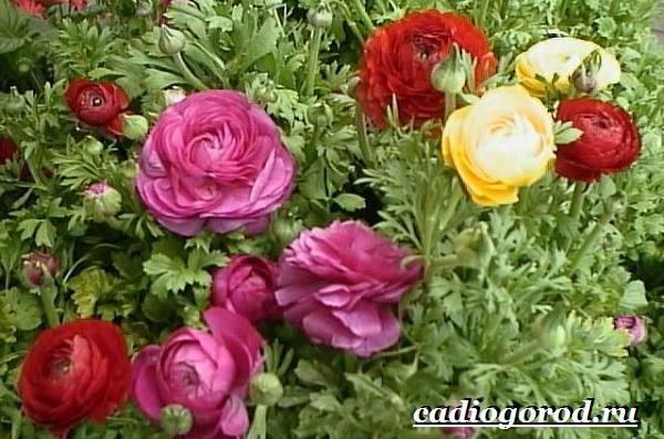 Цветок-лютик-садовый-Описание-особенности-виды-и-уход-за-садовым-лютиком-5