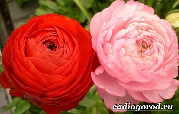 Цветок-лютик-садовый-Описание-особенности-виды-и-уход-за-садовым-лютиком-6