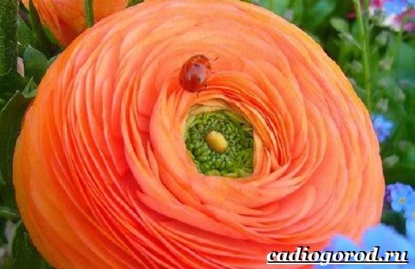 Цветок-лютик-садовый-Описание-особенности-виды-и-уход-за-садовым-лютиком-7