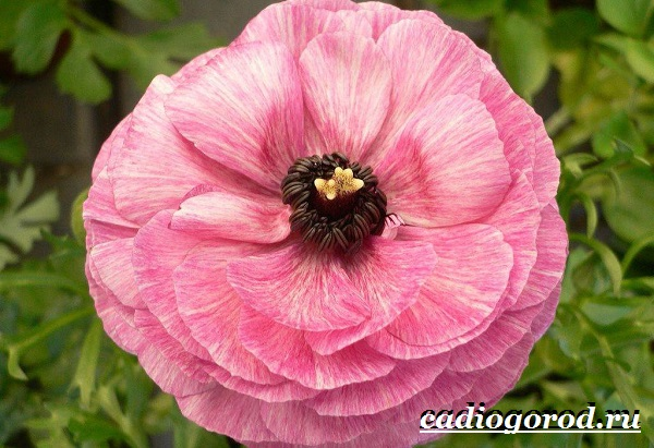 Цветок-лютик-садовый-Описание-особенности-виды-и-уход-за-садовым-лютиком-9