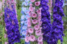 Дельфиниум цветы. Описание, особенности, виды и уход за дельфиниумом