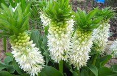 Эукомис цветок. Описание, особенности, виды и уход эукомиса