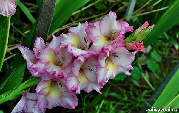 Гладиолус-цветок-Описание-особенности-виды-и-уход-за-гладиолусами-1