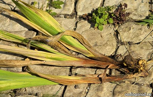 Гладиолус-цветок-Описание-особенности-виды-и-уход-за-гладиолусами-14