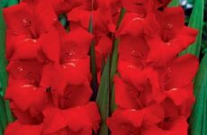 Гладиолус цветок. Описание, особенности, виды и уход за гладиолусами