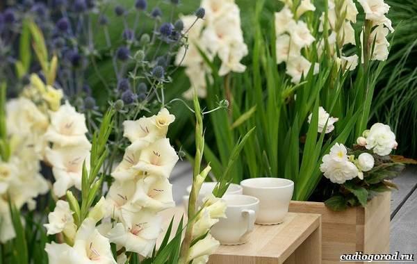 Гладиолус-цветок-Описание-особенности-виды-и-уход-за-гладиолусами-4