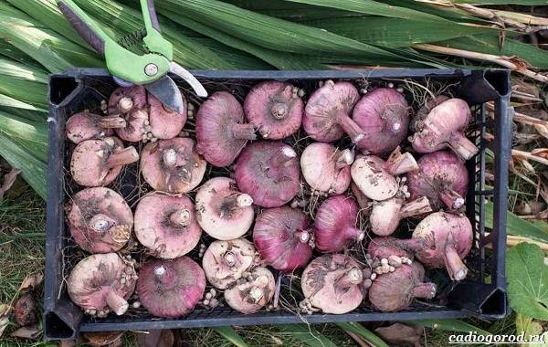 Гладиолус-цветок-Описание-особенности-виды-и-уход-за-гладиолусами-5