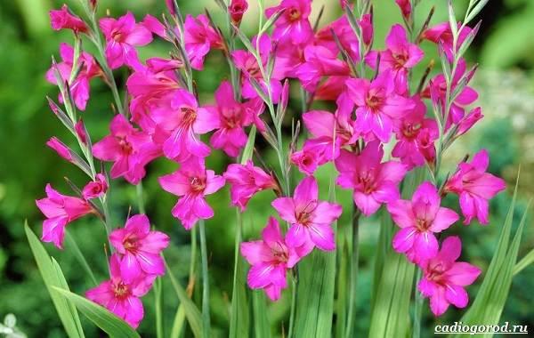 Гладиолус-цветок-Описание-особенности-виды-и-уход-за-гладиолусами-7