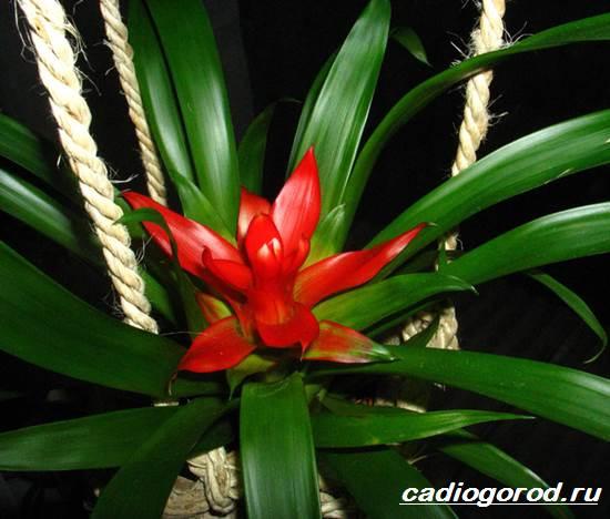 Гузмания-цветок-Описание-особенности-виды-и-уход-за-гузманией-10