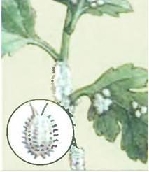 Гузмания-цветок-Описание-особенности-виды-и-уход-за-гузманией-11