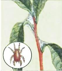 Гузмания-цветок-Описание-особенности-виды-и-уход-за-гузманией-12