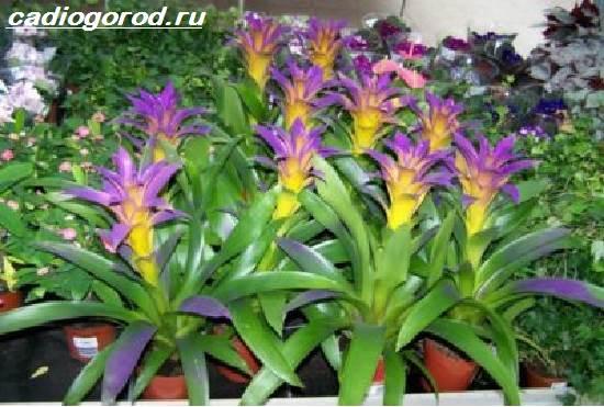 Гузмания-цветок-Описание-особенности-виды-и-уход-за-гузманией-3