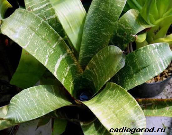 Гузмания-цветок-Описание-особенности-виды-и-уход-за-гузманией-5