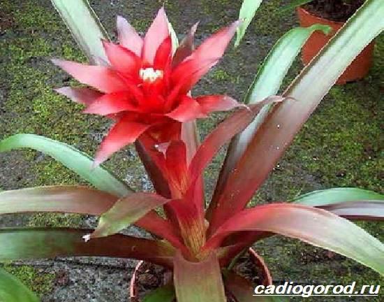 Гузмания-цветок-Описание-особенности-виды-и-уход-за-гузманией-8