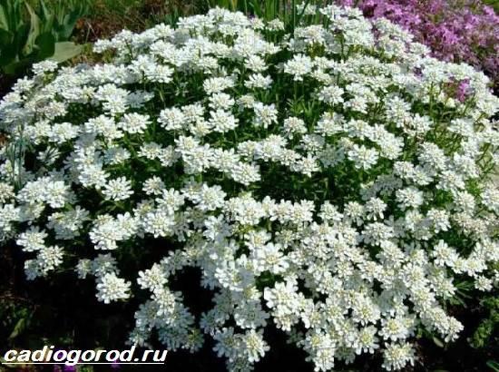 Иберис-цветок-Описание-особенности-виды-и-уход-за-иберисом-1