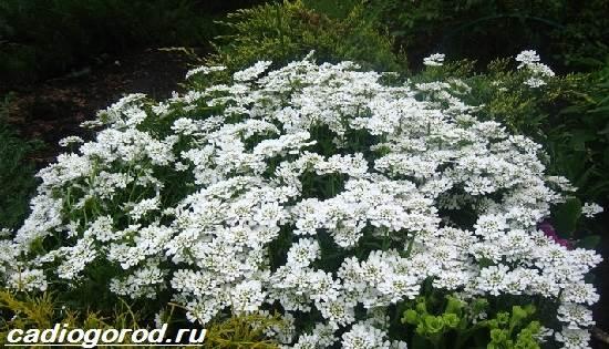 Иберис-цветок-Описание-особенности-виды-и-уход-за-иберисом-2