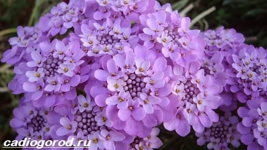Иберис-цветок-Описание-особенности-виды-и-уход-за-иберисом-5