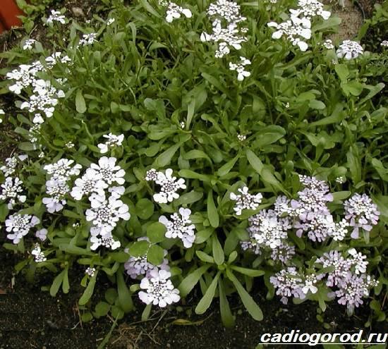 Иберис-цветок-Описание-особенности-виды-и-уход-за-иберисом-6