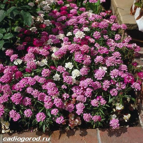 Иберис-цветок-Описание-особенности-виды-и-уход-за-иберисом-7
