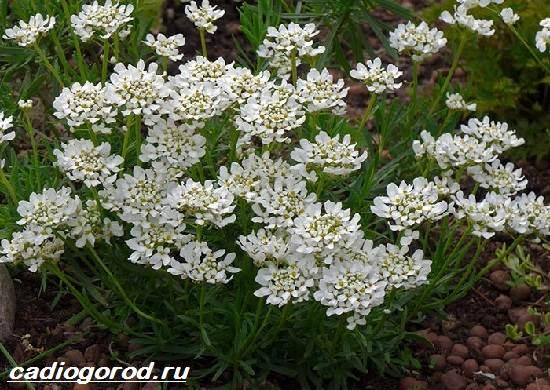 Иберис-цветок-Описание-особенности-виды-и-уход-за-иберисом-8