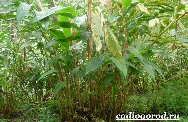 Кардамон-растение-Описание-свойства-выращивание-и-применение-кардамона-13