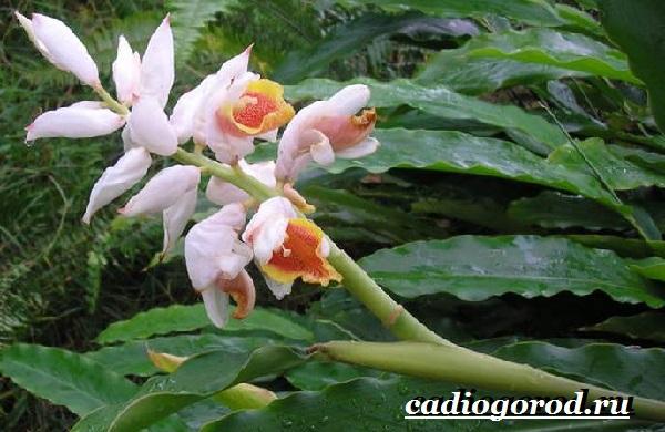 Кардамон-растение-Описание-свойства-выращивание-и-применение-кардамона-15