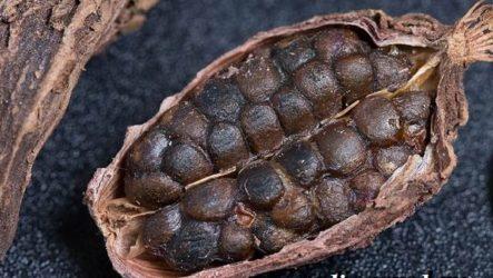 Кардамон растение. Описание, свойства, выращивание и применение кардамона