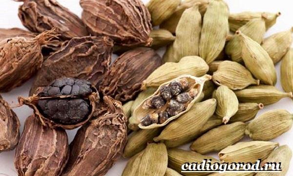Кардамон-растение-Описание-свойства-выращивание-и-применение-кардамона-5