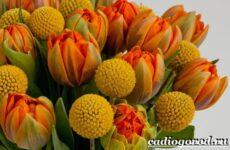 Краспедия цветок. Описание, особенности, виды и уход за краспедией