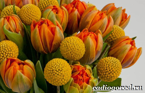 Краспедия цветок. Описание, особенности, виды и уход за краспедией-2