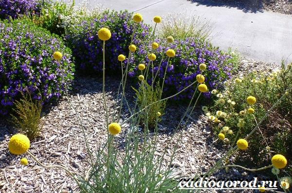 Краспедия цветок. Описание, особенности, виды и уход за краспедией-7