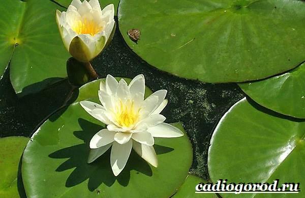 Кувшинка-белая-цветок-Описание-особенности-и-свойства-белой-кувшинки-1