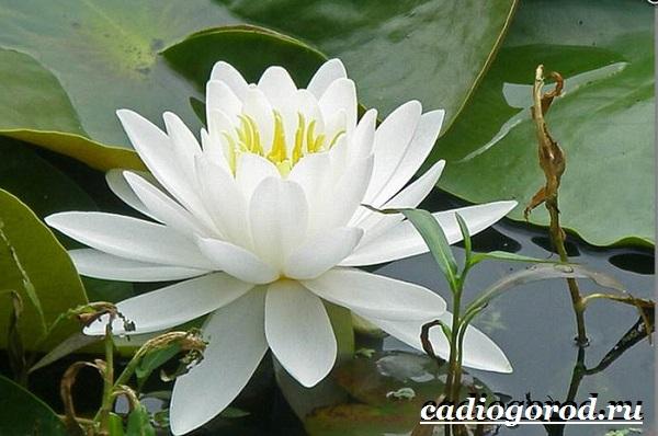 Кувшинка-белая-цветок-Описание-особенности-и-свойства-белой-кувшинки-5