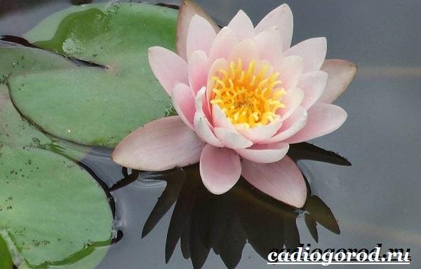 Кувшинка-белая-цветок-Описание-особенности-и-свойства-белой-кувшинки-8