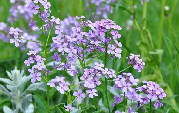 Маттиола-цветок-Описание-особенности-виды-и-уход-за-маттиолой-30