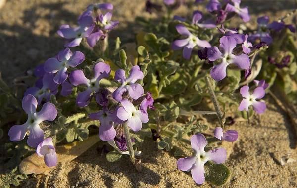 Маттиола-цветок-Описание-особенности-виды-и-уход-за-маттиолой-31