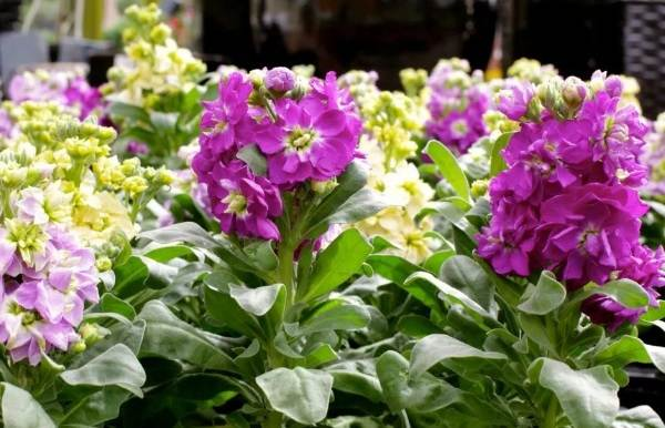 Маттиола-цветок-Описание-особенности-виды-и-уход-за-маттиолой-32