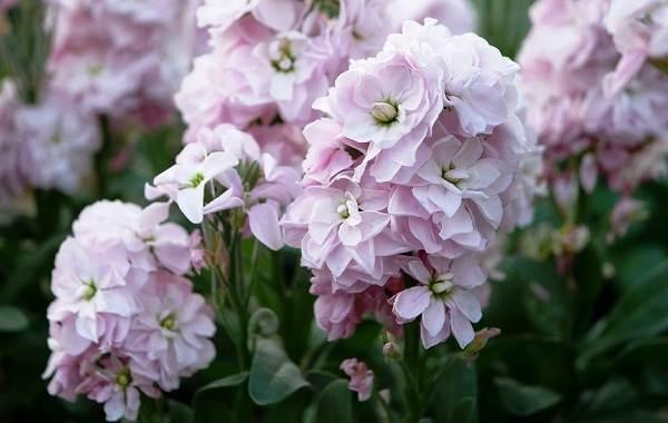 Маттиола-цветок-Описание-особенности-виды-и-уход-за-маттиолой-35