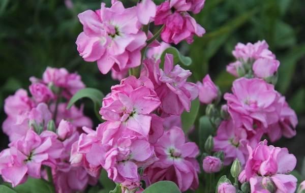 Маттиола-цветок-Описание-особенности-виды-и-уход-за-маттиолой-38