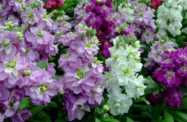 Маттиола-цветок-Описание-особенности-виды-и-уход-за-маттиолой-39