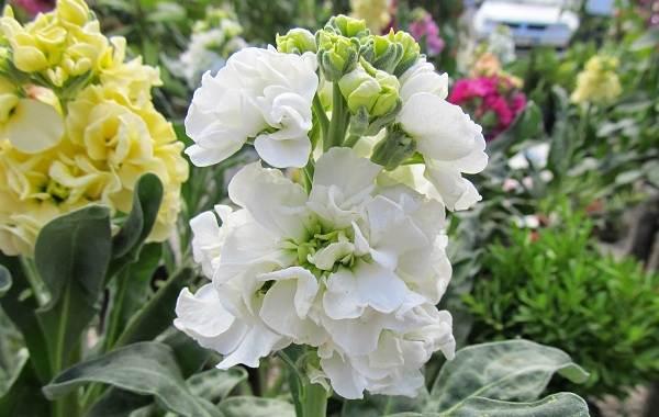 Маттиола-цветок-Описание-особенности-виды-и-уход-за-маттиолой-41
