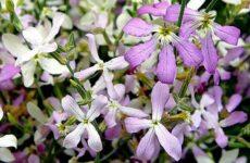 Маттиола цветок. Описание, особенности, виды и уход за маттиолой