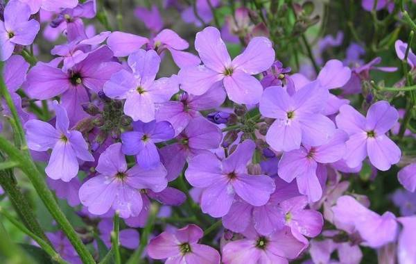 Маттиола-цветок-Описание-особенности-виды-и-уход-за-маттиолой-44