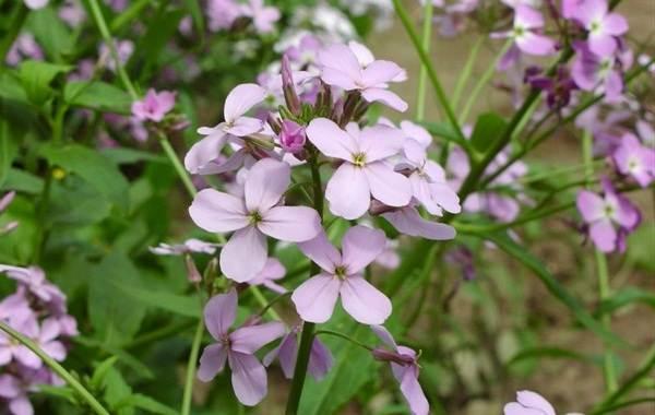 Маттиола-цветок-Описание-особенности-виды-и-уход-за-маттиолой-45