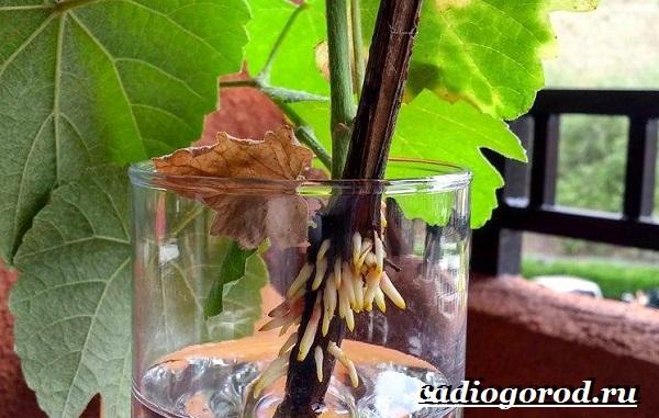 Размножение-винограда-черенками-10